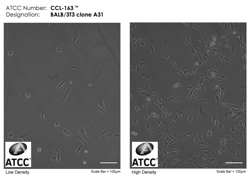 BABL/3T3细胞图片