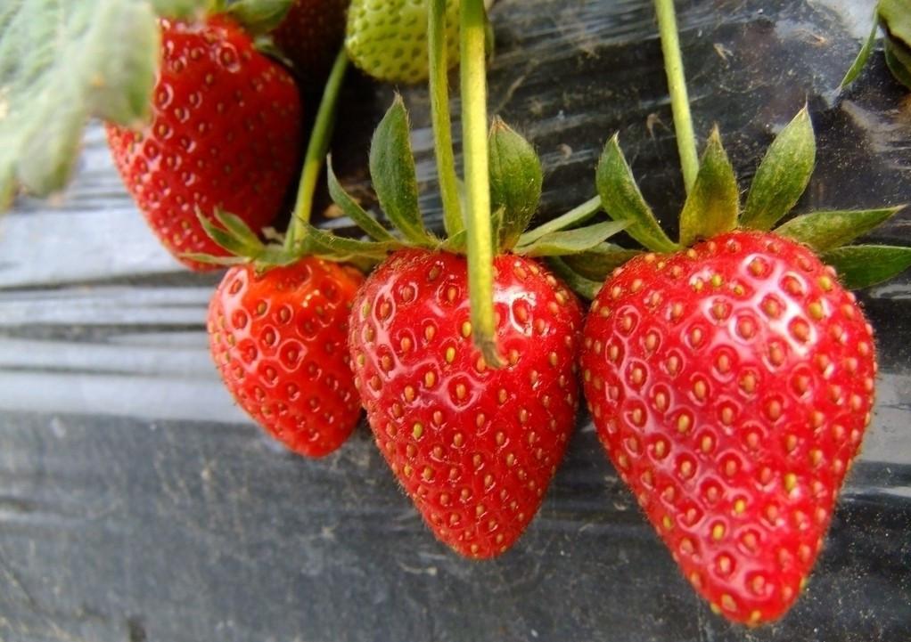 草莓素描图片步骤