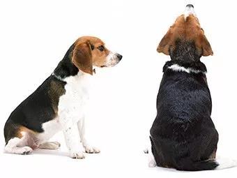 动物实验犬