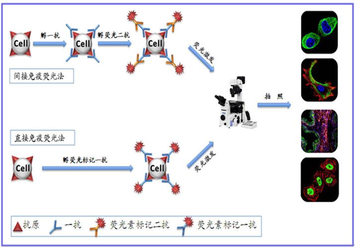 免疫荧光实验 - 基尔顿生物科技(上海)有限公司