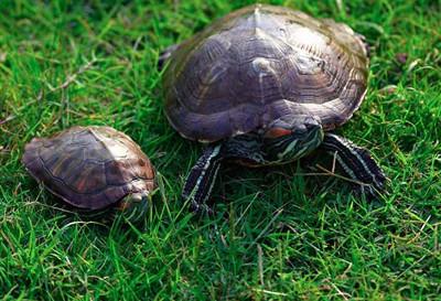 两只龟在田头一动不动