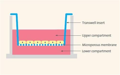 transwell细胞迁移